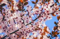 Blomningen blommar i träd på våren på en solig dag Arkivfoto