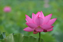 blomningen blommar lotusblommapink Arkivbilder