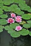 blomningen blommar näckros Arkivbild