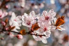 blomningen blommar plommonet Arkivbilder