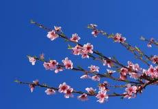blomningen branches Cherryet arkivfoto
