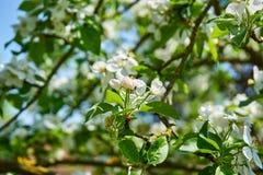 Blomningen för det Apple trädet blommar med himmel i bakgrunden arkivfoton