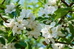 Blomningen för det Apple trädet blommar med himmel i bakgrunden arkivfoto