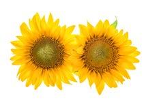 blomningen isolerade solroswhite härligt blommahuvud Arkivfoton