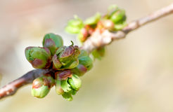 blomningen slår ut Cherryet Royaltyfri Fotografi