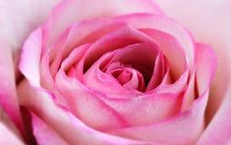 blomningen steg Royaltyfri Fotografi