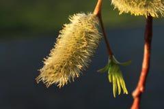 blomningen tidigt kan spring pilen Arkivfoto