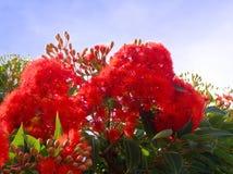Blomningeukalyptusträd Royaltyfria Bilder