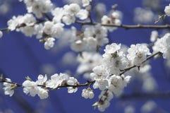 Blomningfilial Royaltyfri Fotografi