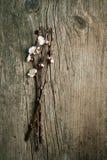 blomningfilialCherry Royaltyfri Foto