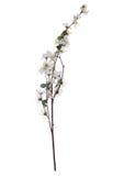 blomningfilialCherry Fotografering för Bildbyråer