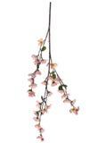 blomningfilialCherry Arkivbild