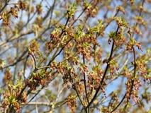 Blomningfilialer av lönnaskaen, Acer negundo Arkivfoto