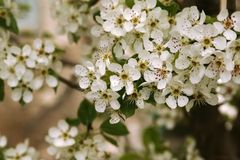 blomningfilialpear Arkivfoto
