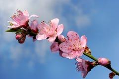 blomningfilialpersika Arkivfoton