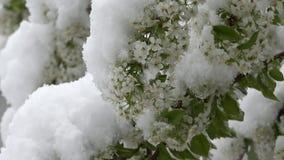 Blomningfilialräkning med snö, skönhet för ögon, katastrof för natur lager videofilmer