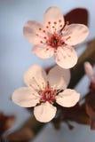 blomningfjädertree Royaltyfri Fotografi