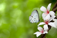 blomningfjärilen blommar tung white Royaltyfri Fotografi