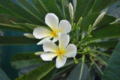 Blomningfrangipaniblommor Arkivbild
