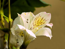 blomningfreesia Arkivfoton