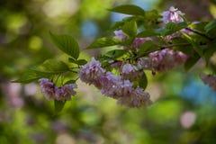 Blomningfruktträd Arkivfoton