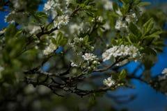 Blomningfruktträd Royaltyfria Bilder