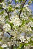 blomningfruktträd Fotografering för Bildbyråer