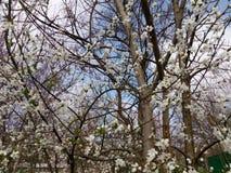 Blomningfruktträdfilial i vårdag Fotografering för Bildbyråer