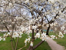Blomningfruktträdfilial i vårdag Royaltyfria Bilder