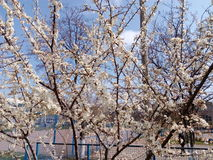 Blomningfruktträdfilial i vårdag Arkivbilder