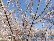 Blomningfruktträdfilial i vårdag Arkivbild