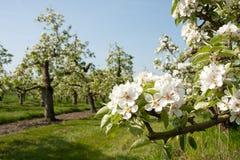 blomningfruktträdgård arkivbild