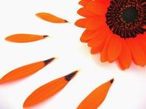 blomninggerber fotografering för bildbyråer