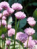 Blomninggräslökar Royaltyfria Foton