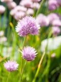 Blomninggräslökar Royaltyfri Foto