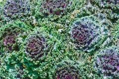 blomninggrönsak Arkivbild