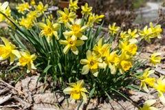 Blomningguling blommar i fältet Royaltyfri Foto