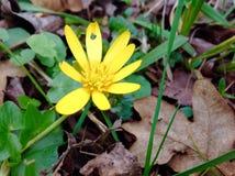 Blomninggulingblomma och gräsplanblad Royaltyfria Foton