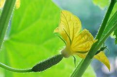 blomninggurka Royaltyfri Bild