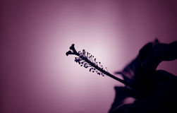 blomninghibiskus Royaltyfria Bilder