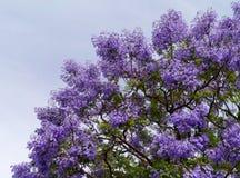 Blomningjakaranda i vår Royaltyfria Bilder