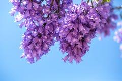 Blomningjakarandaen förgrena sig mot himlen Royaltyfri Fotografi