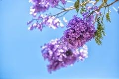 Blomningjakarandaen förgrena sig mot himlen Arkivfoton