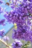 Blomningjakarandan förgrena sig på himmelbakgrunden Fotografering för Bildbyråer
