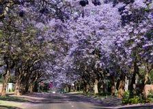 Blomningjakarandaträd Arkivfoton