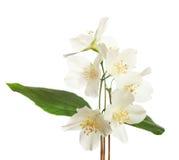 blomningjasmin Arkivfoto