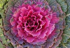 Blomningkålar, closeup royaltyfria foton