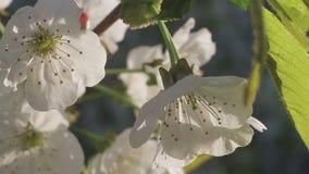 Blomningkörsbär på en solig eftermiddag för vår stock video