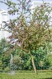Blomningkörsbär på Museumpark arkivfoto