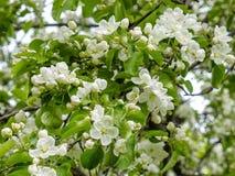 Blomningkörsbäret Royaltyfria Bilder